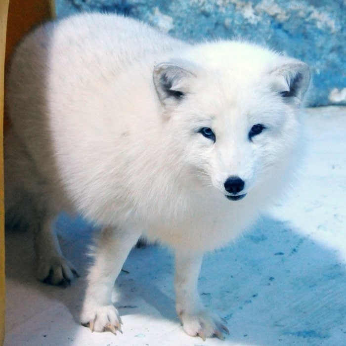 Fjällräven is Swedish for the Arctic fox, also known as the white fox, polar fox, or snow fox