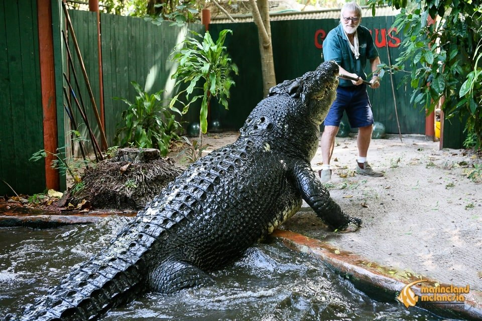 The world's oldest crocodile in captivity, Cassius is a 110-year-old one-tonne saltwater crocodile kept at MarineLand Melanesia in Queensland, Australia, measuring an impressive 17ft 11 inches in length